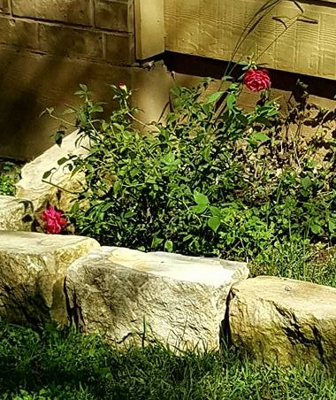 Rose Plant Sacred Moon Herbs